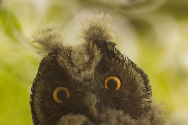 animals-birds-owl-fauna