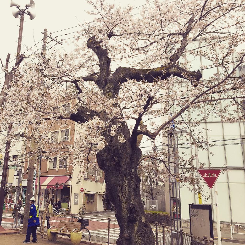 春の象徴:桜の木